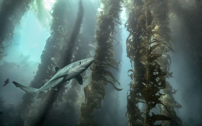 Blue Shark in kelp forest, underwater photography Zac Macaulay